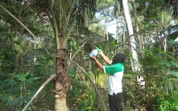 Dinas Kehutanan dan Perkebunan (Hutbun) Sukamara melakukan penyemprotan pada pohon kelapa dalam yang terserang hama kumbang janur di Desa Sei Damar, Kecamatan Pantai Lunci, Kabupaten Sukamara. BORNEONEWS/NORHASANAH