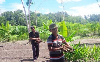Warga Eks Gafatar sedang beraktivitas memanen hasil kebunnya di lahan yang mereka garap. bORNEONEWS/NORHASANAH