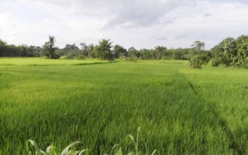 Tanaman padi kelompok tani di Desa Bambulung, Kecamatan Pematang Karau. Lokasi pertanian ini merupakan salah satu lumbung padi Kabupaten Bartim selain Desa Netampin yang berada Di kecamatan Dusun Tengah. Foto diambil Borneonews beberapa waktu