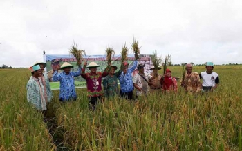 Pemkab Kotawaringin Timur Panen Raya Padi Organik