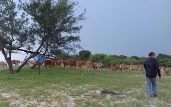 Foto : Desa Sei Raja, Kecamatan Jelai, Kabupaten Sukamara merupakan salah satu pemasok daging sapi di Kabupaten Sukamara.