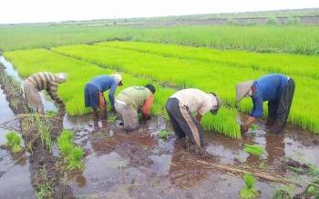 Persemaian benih padi telah siap dipindahkan ke lahan sawah. Dengan sistem semai seperti ini, satu hektare lahan sawah butuh 25 kg benih padi. Sebaliknya sistem manugal atau hambur, butuh 60 kg hingga 75 kg benih per hektare.
