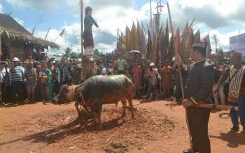 Keterangan poto: Bupati Ahmad Yantenglie bersiap secara simbolis menumbak seekor kerbau pada ritual adat Tiwah di Desa Tumbang Manggo Kecamatan Sanaman Mantikei, Rabu (1/6).borneo/abdul gofur