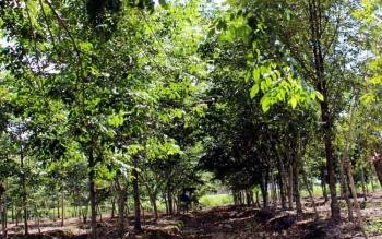 Berbagai jenis tanaman diantaranya tanaman Belangiran yang ada di hutan kota Pulang Pisau.