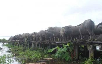 Pemkab Barito Selatan Akan Kembangkan Objek Wisata Kerbau Rawa