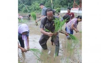 Ketua DPRD Gunung Mas Gumer menanam padi di lahan pertanian Desa Hurung Bunut, Kecamatan Kurun, Senin (25/7/2016). Gumer menyatakan sangat mendukung upaya peningkatan produksi beras di Gumas. BORNEONEWS/EPRA SENTOSA