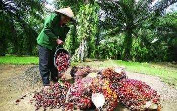 Petani kelapa sawit. DOK BORNEONEWS