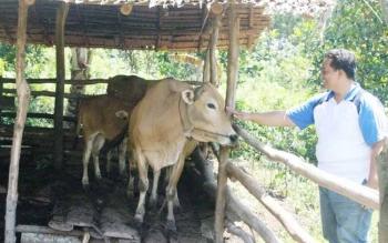 Peternak sapi di Desa Bapeang Kecamatan Mentawa Baru Ketapang, Kotawaringin Timur. Gubernur Kalteng Sugianto Sabran, Minggu (21/8/2016), memastikan Kotim mendapat bantuan 300 ekor sapi indukan. BORNEONEWS/RAFIUDIN