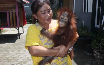 Orangutan. BORNEONEWS/RAFIUDIN