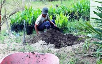 Petani sedang menambahkan pupuk pada bibit kelapa sawit. BORNEONEWS/DOK