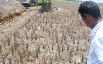 Seorang petani di Kecamatan Mentaya Hilir Selatan menunjuk sawahnya yang kering dan retak. Musim kemarau ini membuat sebagian petani di wilayah itu tidak bisa tanam padi. BORNEONEWS/RAFIUDIN
