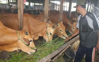 Seorang pedagang sedang memeriksa sapi dagangannya di rumah pemotongan hewan Sampit. BORNEONEWS/RAFIUDIN