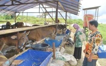 Ilustrasi: petugas kesehatan Hewan dari bidang peternakan Distankannak Barito Utara memeriksa sapi kurban. Pemkab Barito Utara, Selasa (15/11/2016), melaksanakan gerakan inseminasi buatan. BORNEONEWS/DOK
