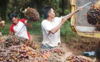 Dua orang pekerja sawit sedang memasukkan buah ke dalam truk, untuk diangkut ke pabrik pengumpulan dan pengolahan buah terssebut. BORNEONEWS