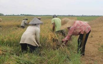 Tampak para petani di Desa Lempuyang, Kecamatan Teluk Sampit, memanen padi mereka. Banyak petani Kotawaringin Timur belum memanfaatkan asuransi pertanian. BORNEONEWS/RAFIUDIN