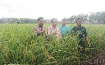 Bupati dan Wakil Bupati Kotawaringin Timur Supian Hadi-Taufiq Mukri bersama Camat Mentaya hilir Selatan Jumberi dan salah seorang PPL memperlihatkan tanaman padi yang hampir memasuki masa panen. BORNEONEWS/RAFIUDIN