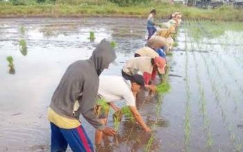 Petani menanam padi di sawah. BORNEONEWS/DOK