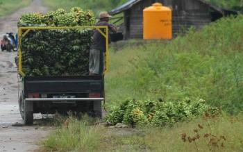 Sebuah mobil jenis pikap yang bermuatan pisang kepok yang dibeli di wilayah Desa Bangun Harja Kecamatan Seruyan Hilir Timur untuk kemudian dibawa ke daerah Banjarmasin, beberapa waktu lalu. BORNEONEWS/PARNEN
