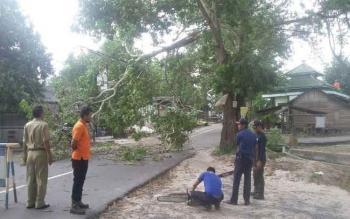 Salah satu pohon tumbang di pinggiran jalan di Kota Pangkalan Bun saat badai guntur melanda. Kepala BMKG Pangkalan Bun, Lukman Soleh, Jumat (14/10/2016), memperingatkan masyarakat waspadai cuaca ekstrim. BORNEONEWS/CECEP HERDI