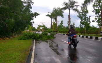 Pohon tumbang di Jalan Tjilik Riwut, Sukamara, akibat cuaca ekstrim, dalam pekan ini. Kasat Lantas Polres Sukamara, Iptu Beno Hartanto, Senin (17/10/2016), meminta warga agar berhati-hati berkendara. BORNEONEWS/DOK