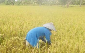 Petani di Kabupaten Pulang Pisau yang sedang melakukan panen padi belum lama ini. BORNEONEWS/JAMES DONNY