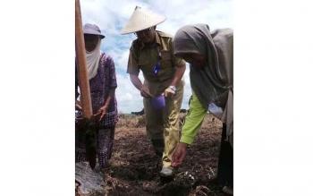 Desa Purbasari, Kecamatan Arut Selatan, Kotawaringin Barat, Kalimantan Tengah, Senin (24/10/2016), mengembangkan budidaya padi jejer legowo di kawasan pertanian seluas 25 hektare. BORNEONEWS/KOKO SULISTYO