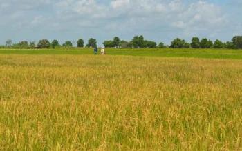 Lahan pertanain petani di Kecamatan Pantai Lunci, Sukamara. Menurut Bupati Sukamara, Ahmad Dirman, Rabu (26/10/2016), 2017 diprogramkan pencetakan 500 hektare sawah bekerjasama dengan TNI. BORNEONEWS/NORHASANAH