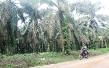 Warga Desa Amin Jaya, Kecamatan Pangkalan Banteng, Kotawaringin Barat, melintas di perkebunan kelapa sawit milik PT WSSL. Warga menilai, Bupati Kobar, Bambang Purwanto enggan menyelesaikan sengketa lahan warga dengan PT WSSL. BORNEONEWS/CECEP HERDI