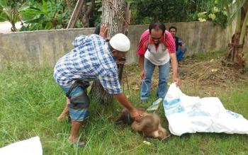 Beruk Ngamuk Serang Majikan di Sampit