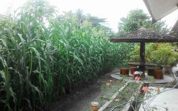 Pekarangan rumah jabatan Sekda Barito Selatan, di Buntok, jadi contoh perkebunan keluarga. Kepala Distanak Barito Selatan, Ibarata, Jumat (11/11/2016), mengimbau warga memanfaatkan pekarangan untuk kebun keluarga. BORNEONEWS/PPOST/H. LAILY MANSYUR