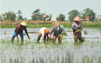 Beberapa petani Kuala Pembuang Kecamatan Seruyan Hilir saat melakukan penanaman bibit padi meski ditengah lahan yang terendam, beberapa waktu lalu. BORNEONEWS/PARNEN