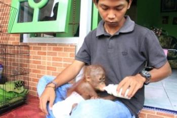 Bayi orangutan ditemukan warga. Bayi orangutan ini kehilangan induknya yang diduga hilang/mati dibunuh warga. borneonews/dok