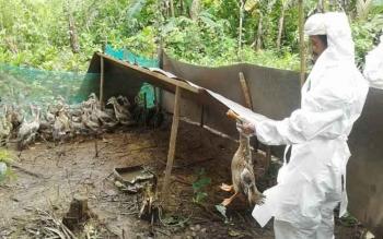 Positif Flu Burung 48 Itik Alabio Kelompok Tani di Kapuas Dimusnahkan