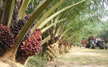 ilustrasi pohon kelapa sawit.