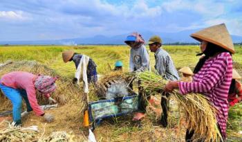 PANEN : Beberapa petani sedang memanen padi. Sementara itu Dinas Pertanian Barito Timur menargetkan bisa swasemada beras pada 2017 ini. (ILUSTRASI)