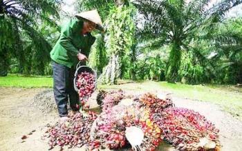 Petani kelapa sawit saat memanen buah dari kebun sawit miliknya. Para petani ini mengeluhkan murahnya harga jual kelapa sawit.BORNEONEWS/CECEP HERDI