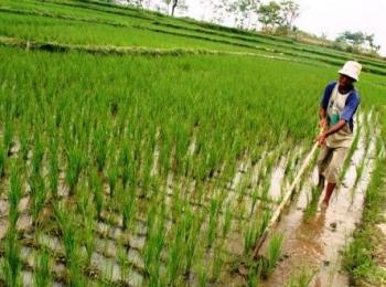 BERSIHKAN GULMA : Seorang petani sedang membersihkan gulma di lahan sawah padi. (ILUSTRASI)