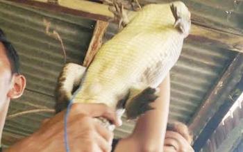 Salah satu Buaya sungai Jayau yang berhasil ditangkap.BORNEONEWS/KOKO SULISTYO