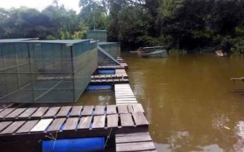 Menurunnya kualitas air di Sungai Arut menjadikan banyak nelayan yang gulung tikar, untuk mensiasati mereka memilih jenis ikan endemik yang tahan dengan kondisi ekstrem.. Nampak keramba Pembudidaya di Bantaran Arut.(BORNEONEWS/KOKO SULISTYO)