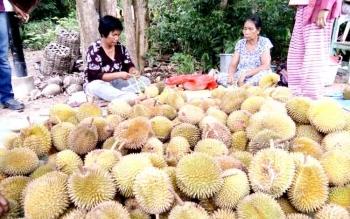 Durian dari Kalbar lebih banyak dipilih pedagang untuk dijual di Nanga Bulik. BORNEONEWS/HENDI NURFALAH