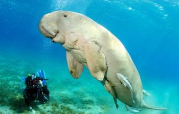 Ikan Duyung. Ilustrasi/Hello-PET