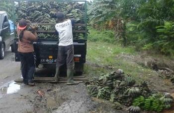 Dua petani pisang kepok di Desa Bangun Harja memuat hasil panen mereka ke pikup. BORNEONEWS/PARNEN