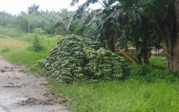 Harga Pisang Kepok Anjlok, Petani di Seruyan tak Bergairah