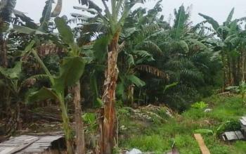 Salah satu bagian lahan kebun pisang kepok milik petani di Desa Bangun Harja, Kecamatan Seruyan Hilir. BORNEONEWS/PARNEN