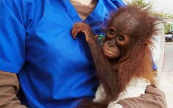 Bayi orangutan Jacqui ini lagi digendong oleh petugas Yayasan BOS Nyaru Menteng. BORNEONEWS/BUDI YULIANTO