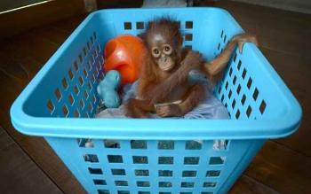 Jacqui bayi orangutang ini bermain di keranjang. BORNEONEWS/BUDI YULIANTO