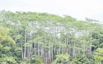Sengon salah satu jenis pohon favorit yang ditanam di Hutan Tanaman Rakyat. BORNEONEWS/JAMES DONNY
