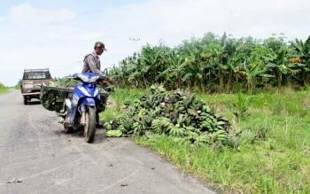 Pisang Kepok Mampu Turunkan Jumlah Keluarga Miskin di Desa Bangun Harja