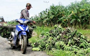 Petani di Desa Bangun Harja usai memanen pisang kepok di kebunnya.
