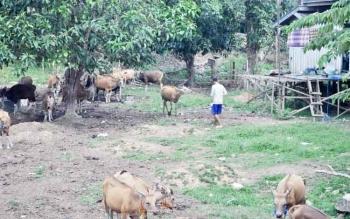 Peternakan sapi yang ada di Kecamatan Teweh Tengah, Barito Utara